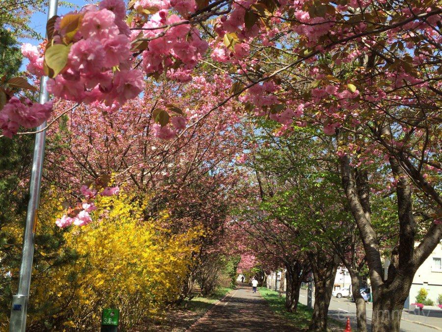 札幌恵庭自転車道路の桜