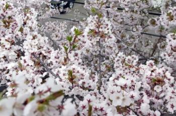 桜を見下ろす