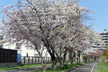 東札幌1条緑地のさくら