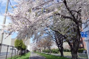 東札幌1条4丁目のさくら