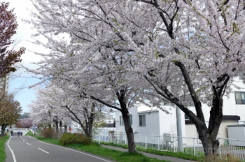 東札幌1条5丁目のさくら