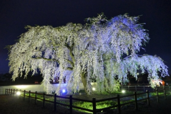 シダレザクラ夜景2