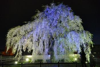 シダレザクラ夜景3