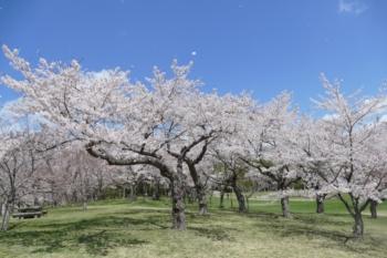 八郎沼公園の桜1