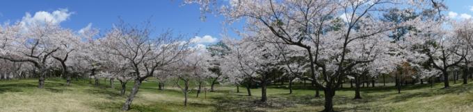 八郎沼公園の桜パノラマ撮影