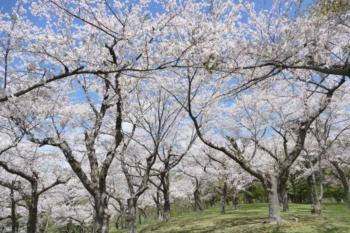 八郎沼公園の桜2