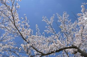 八郎沼公園の桜3