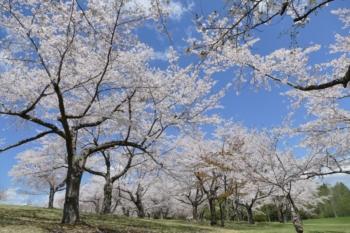 八郎沼公園の桜4