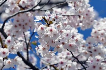 八郎沼公園の桜アップ
