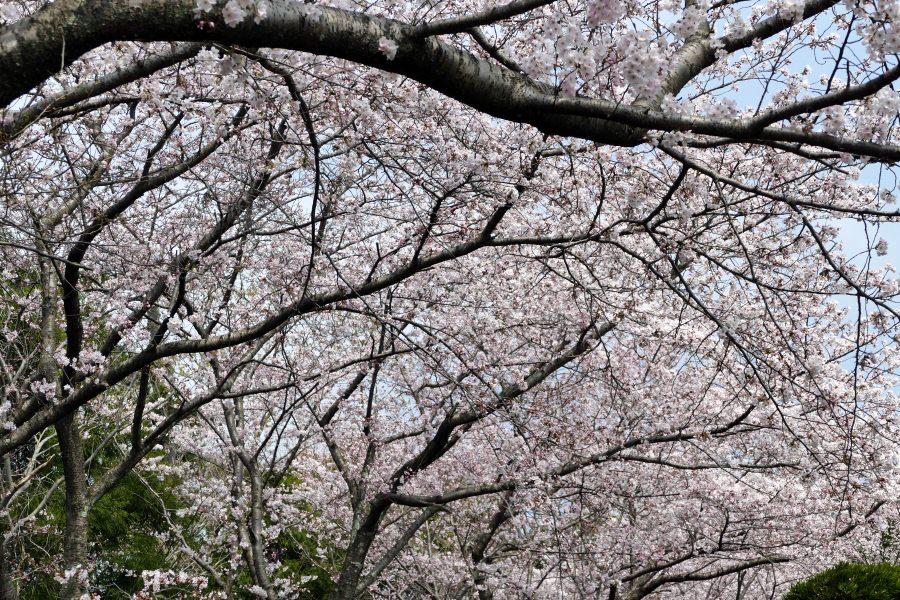 出雲大社の桜